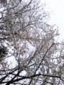 埼玉の桜 だう!