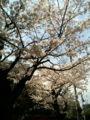 近所の小さな公園の桜を通りすがりに。他にも撮ってる人がいたわ。