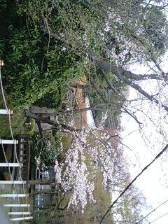今度は明月院(あじさい寺)前の通りの桜です。静かに佇んでいます。
