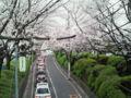 桜坂なう。まさに満開。何度来てもいい場所だ。#sakura