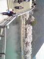 お花見に錦帯橋に来てみた。平日だけど人イパーイ
