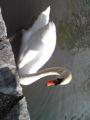 白鳥が居た!Σ(゜Д゜)しかもこいつ人を襲いやがる(((;゜Д゜)))ガクガク