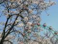 あらかわ遊園の桜で、メール投稿テスツ。