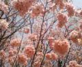お昼休みに庭園で気分転換。しょうふくじ桜は、花びらが50枚から100枚