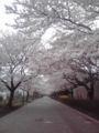 桜、桜! 桜。