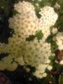 今 白い花のハナテマリの花が満開です♪