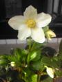白いクリスマスローズの花も 綺麗に咲いています♪