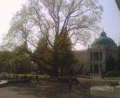 次の楽しみは、東博シンボルツリーのユリノキ。ゴールデンウィークの