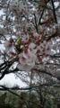 寒い〜寒い{{(>_<;)}}桜も終わっちゃうな。変な天気(-.-;)