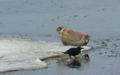 釧路川の上流にはアザラシも来ます