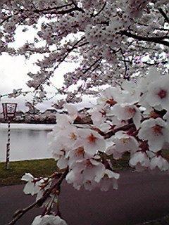 勢至公園。天気は良くないですが満開です。 ♯aKita ♯sakura