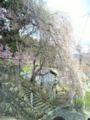 烏帽子山公園少しだけ枝垂れ桜が咲いてました〜