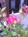 寒い冬を越えて やっと 我が家の薔薇が一輪 花咲きました♪