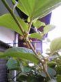 おはようございます。サルナシ(ベビーキウイ)のつぼみが膨らんでき