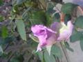ほころび始めた我が家のbluemoon。ちょっと独特な香りで甘すぎないバラ