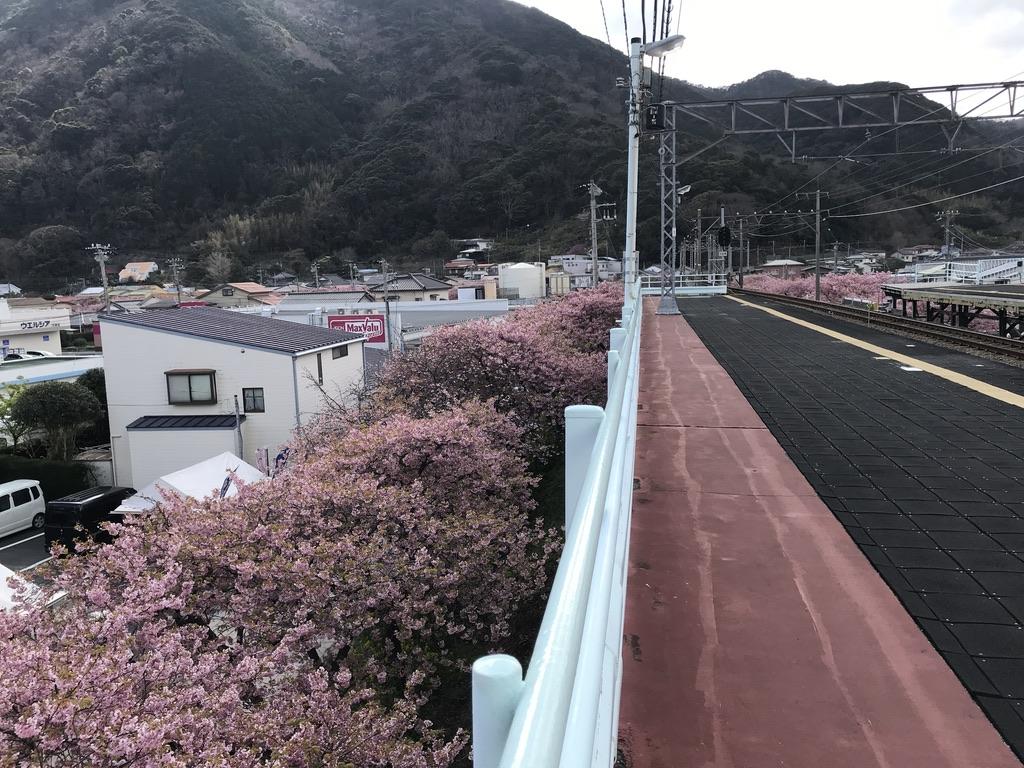 河津駅下りホームから見下ろす、河津駅高架下の満開の河津桜(2020/2/22)