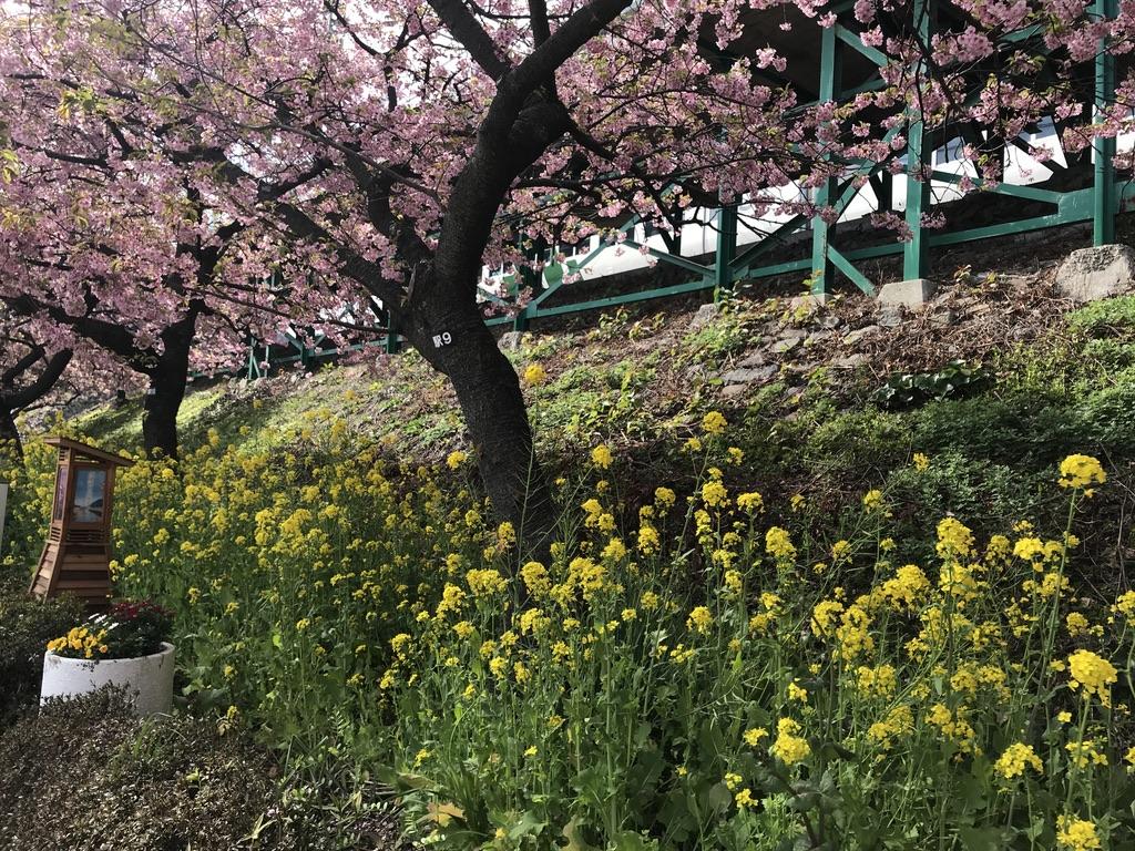 河津駅のホーム下から少し見える185系踊り子109号と、沿道の河津桜・菜の花(2020/2/22)