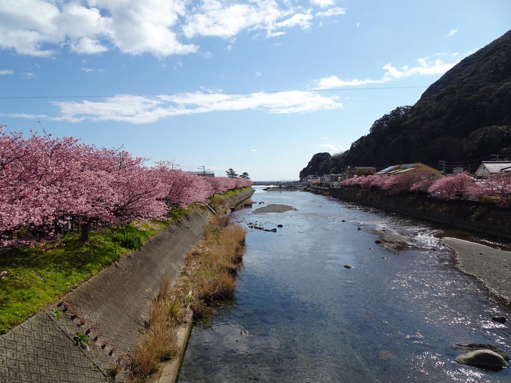館橋から河口を見渡すと、両岸は満開の河津桜続きだった(2020/2/11)