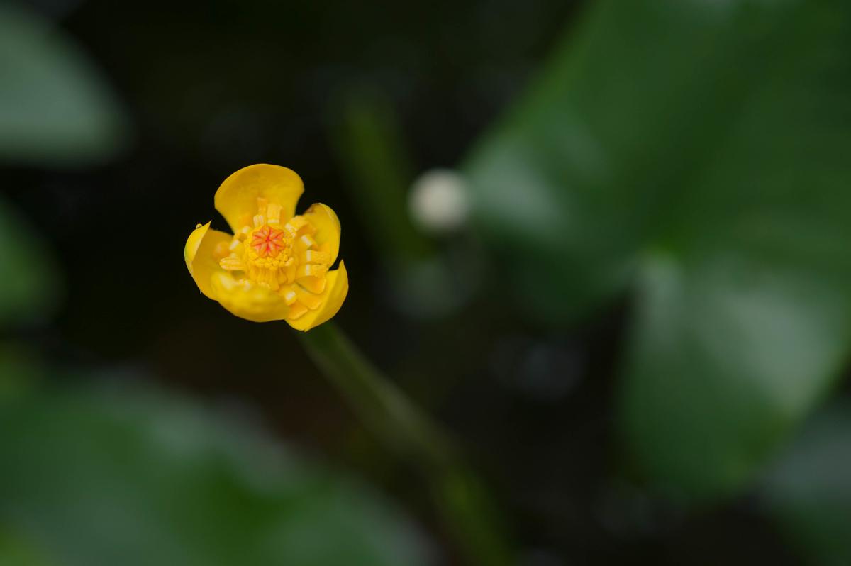 ベニコウホネにいちばん花が咲いた