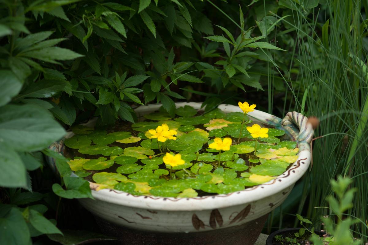 アサザも黄色い花をたくさん咲きだした