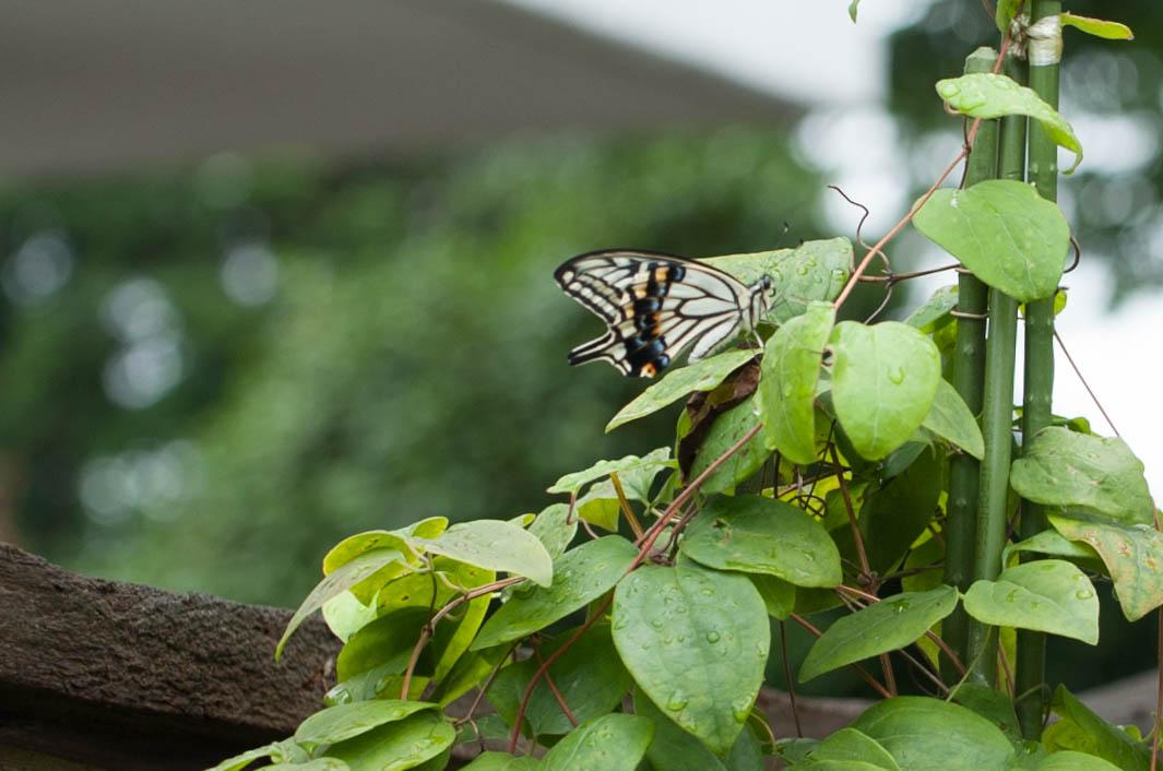 テッセンの葉にとまるナミアゲハ