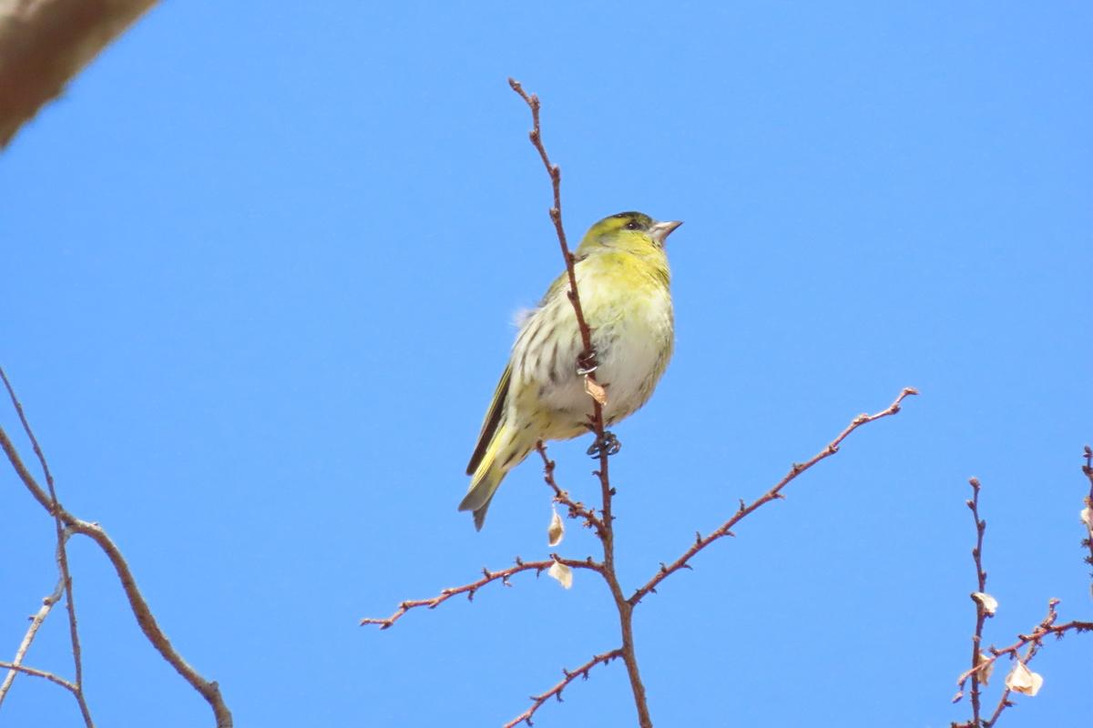 f:id:tyuugakusei_birder:20210516090012j:plain