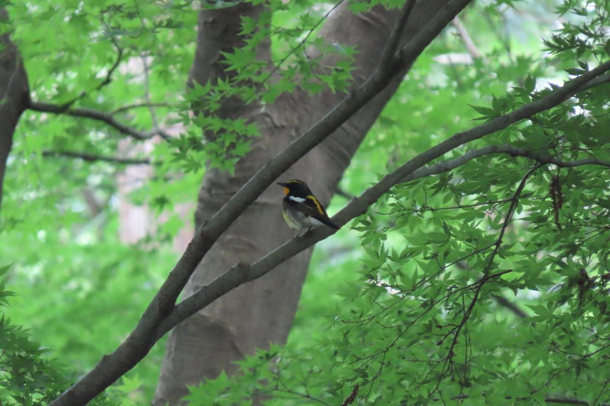 f:id:tyuugakusei_birder:20210530163052j:plain