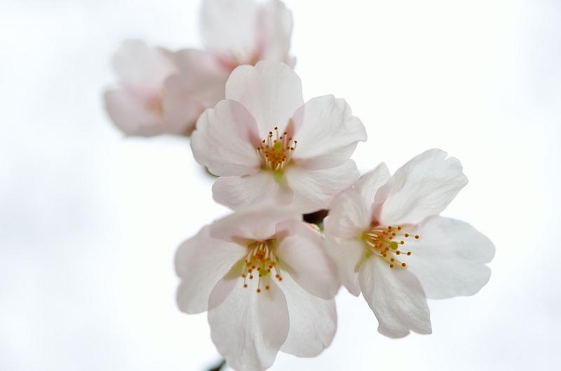 『京都新聞写真コンテスト  桜色』