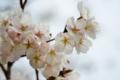 『京都新聞写真コンテスト  春の匂い』