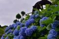 『京都新聞写真コンテスト  梅雨空と紫陽花』