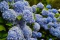 『京都新聞写真コンテスト  梅雨の花』