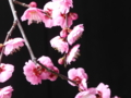 京都新聞写真コンテスト 漆黒に梅