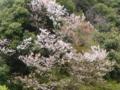 京都新聞写真コンテスト 朧山桜