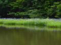 京都新聞写真コンテスト 平池のカキツバタ