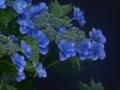京都新聞写真コンテスト 梅雨嬉し
