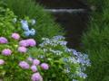 京都新聞写真コンテスト よしが似合う紫陽花