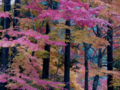 北山杉に紅がさす