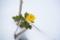 雪中、一輪の菊
