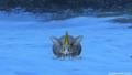 ランガーオ山地でのいっかくウサギ