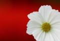 京都新聞写真コンテスト『白いコスモス』