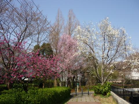 柏尾川(横浜戸塚)沿いのヒガンザクラ