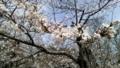 八代宮(八代城址)の桜