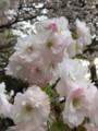 イチヨウザクラ(一葉桜)