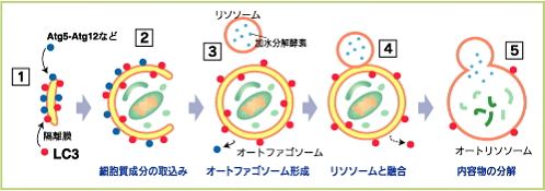 オートファジーでは細胞内で取り込んだ空間をまるごと消化するため、バルク分解系と呼ばれています。