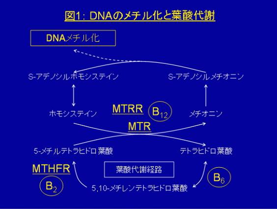 DNAメチル化の維持には、葉酸が重要な役割を果たしていることが知られています。