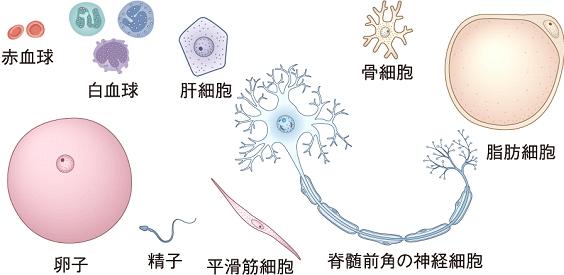身体を構成する細胞の種類。
