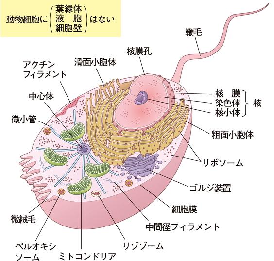 人間の身体は約60兆個の細胞から構成されていると細胞図。