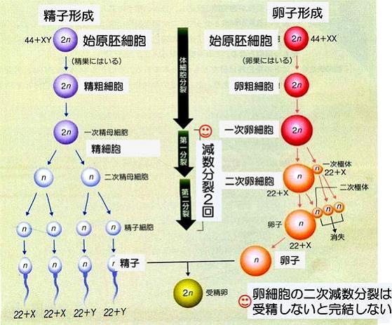 卵細胞や精細胞。
