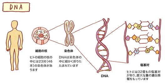 DNAは私たちの体を作る設計図と言えます。