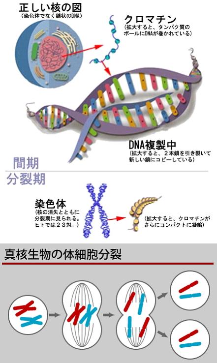 ゲノム情報を含む鎖状の化学物質。